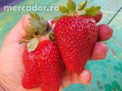 26145669_1_1000x700_stoloni-soiul-asia-fruct-urias-timisoara