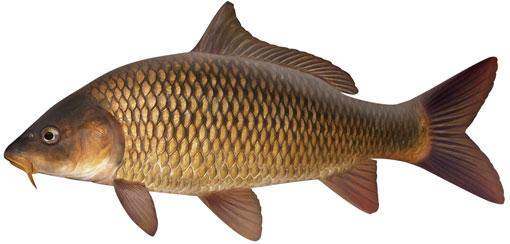 sazan_balıkçılığı