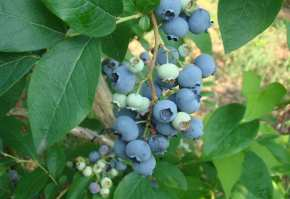 plantatie de afini