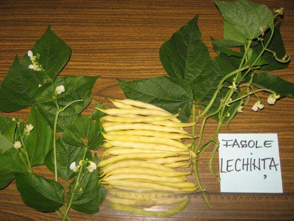 Soiul de fasole pitica Lechinta