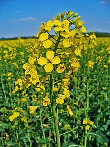 220px-Brassica_napus_002