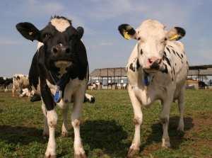 ferma de vaci