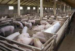 cresterea porcilor cele mai productive rase de porci