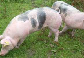 rasa de porci Pietrain