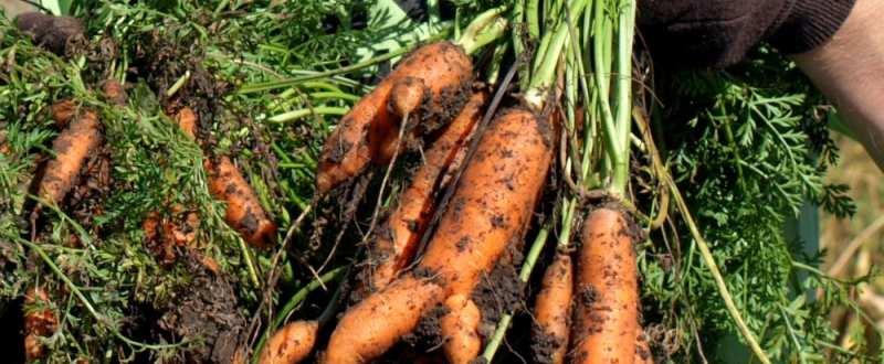 bolile morcovului