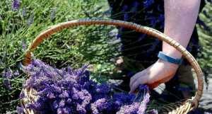 seminte-lavanda-angustifolia