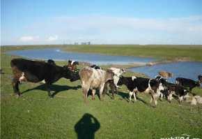 vand-vaci-de-lapte-junici-taurasi-ferma-proprie-vaci