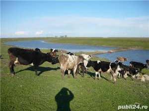 vand-vaci-de-lapte-junici-taurasi-ferma-proprie-vaci1
