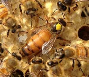Buckfast Honey Bee Queen