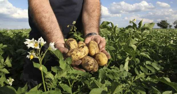 cartofi