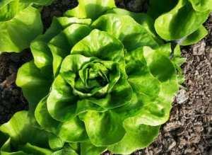 81684454_4_644x461_vand-salata-verde-centore-agro-si-industrie_rev009