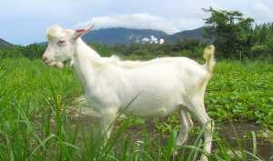 idei de afaceri capre