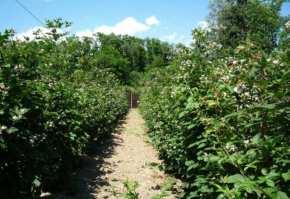15591919_2_644x461_mur-fara-tepi-plante-de-2-ani-si-butasi-soiul-thornfree-fotografii