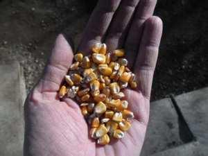 88974708_3_644x461_vand-porumb-boabe-soiul-pioneer-cereale-furaje-fan