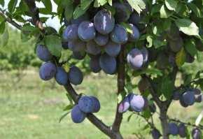 livada de pruni
