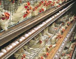 muncitori-la-ferma-de-gaini-1450-euro-potcoava