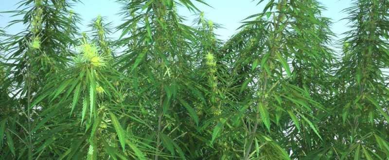 Image result for Cultivarea cânepii previne despăduririle
