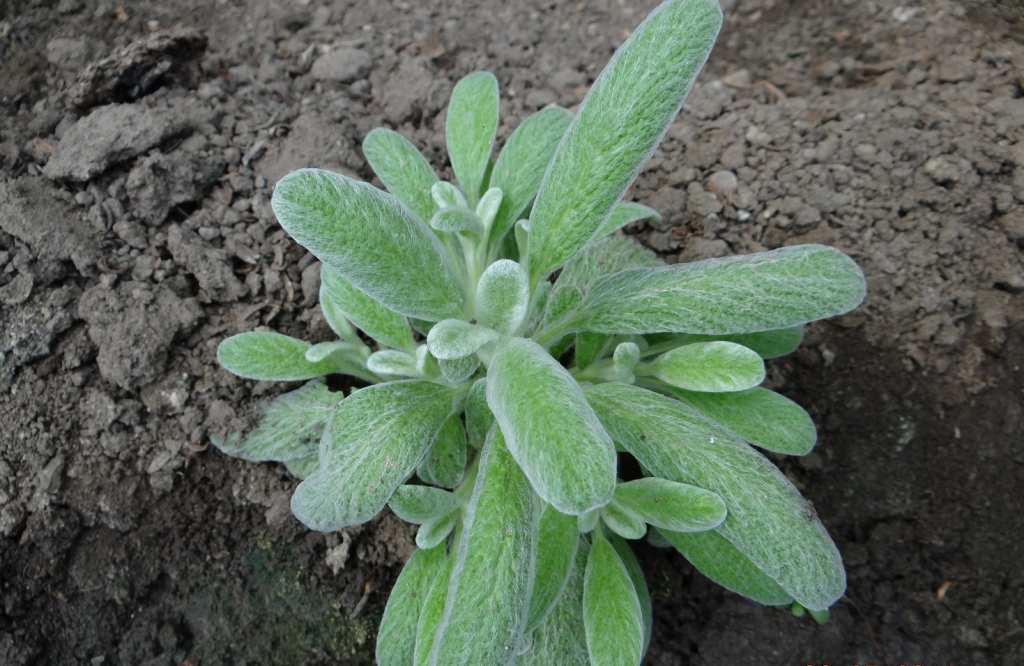 plante medicinale Mursalski chai