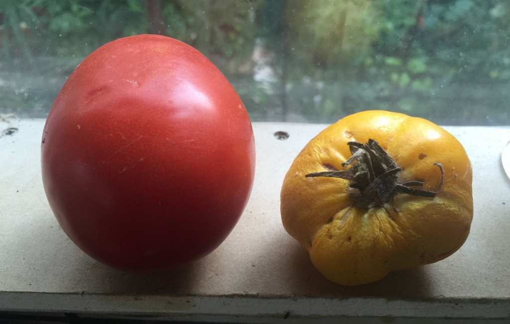 tomate, rosii