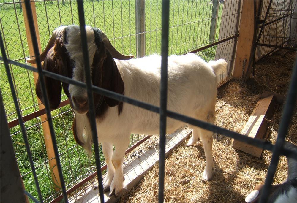 pierderea în greutate la caprele boere