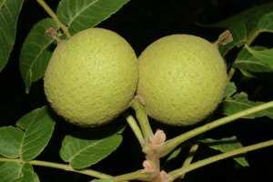 juglans-nigra
