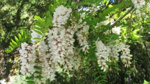 acacia-salcam