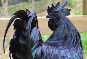 ayam-cemani-1