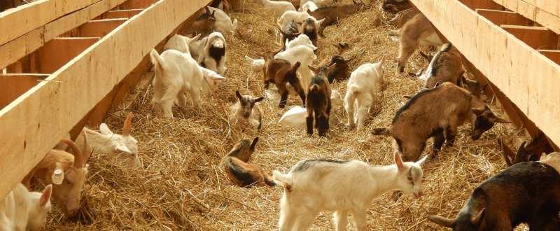 ferma capre