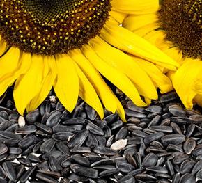 floarea-soarelui2