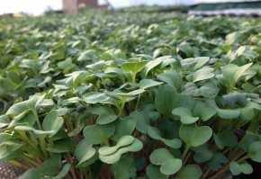microplante