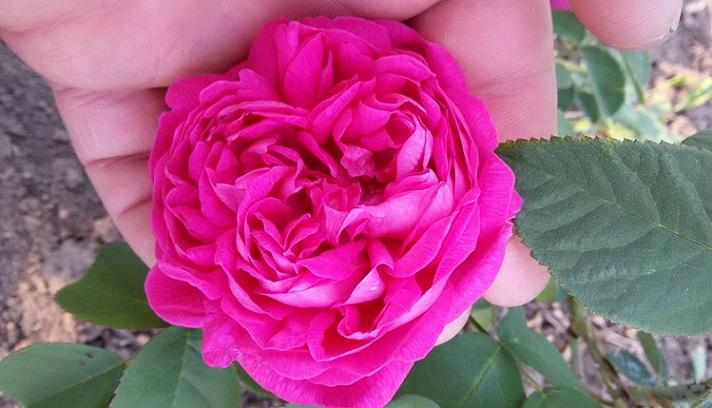 trandafiri dulceata 2