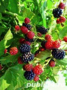 Vand-butasi-mur-inradacinati-fara-spini-soiul-Thornfree-pomi-fructiferi