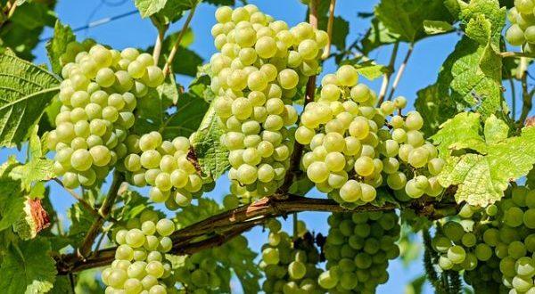 grapes-2656259_640-e1507285579682