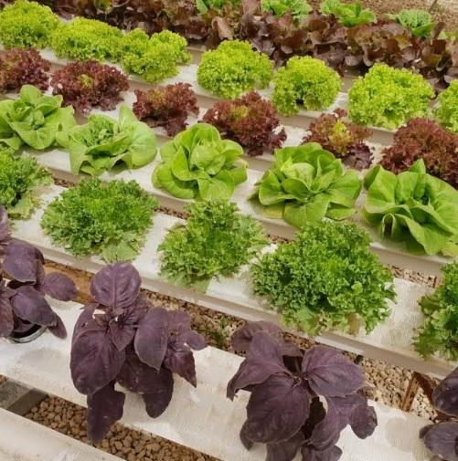 Cultura de salata in sera hidroponica