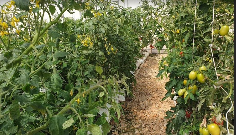 Cultura de tomate in sera hidroponica