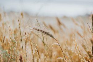 cultura de grau, sprijin fermieri